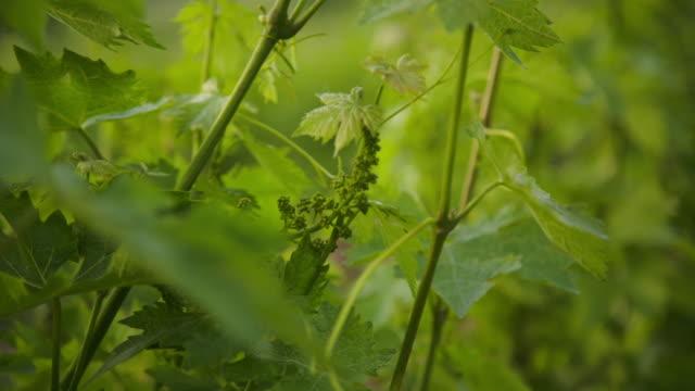 vídeos y material grabado en eventos de stock de fruit setting of a vine. - grape leaf