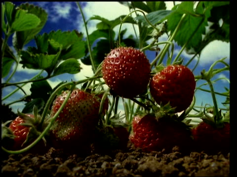 T/L fruit - CU Strawberries growing and ripening on the plant then decaying