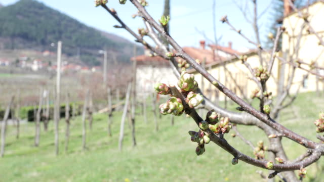 vídeos de stock, filmes e b-roll de árvore de fruta que floresce na primavera - árvore de folha caduca