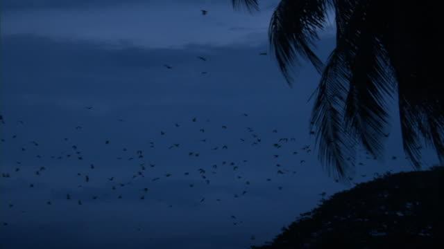 stockvideo's en b-roll-footage met fruitbats (pteropus) fly over rainforest, madang, papua new guinea - tropisch regenwoud