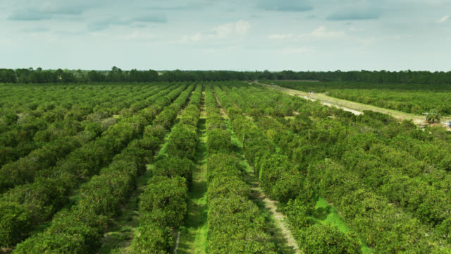 fruiting orange trees in florida citrus grove - drone shot - grove stock videos & royalty-free footage