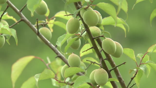 fruits of japanese apricot, tokyo, japan - unripe stock videos and b-roll footage