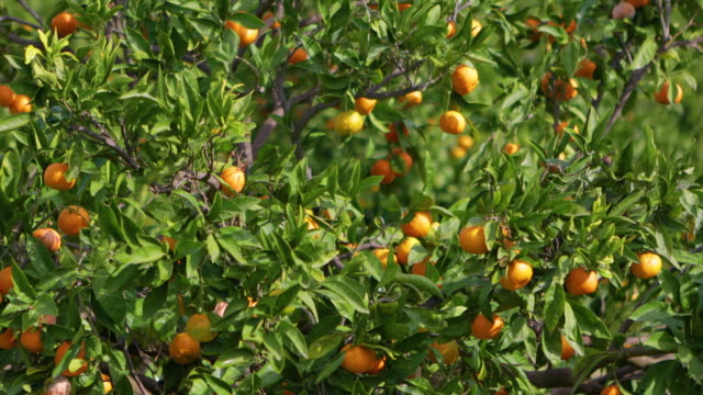fruits on a tangerine tree - citrus fruit stock videos & royalty-free footage