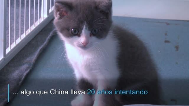 vídeos y material grabado en eventos de stock de fue clonado por una empresa de pekin en un avance científico que podria llevar a clonar a otros animales como los pandas algo que china intenta desde... - llevar