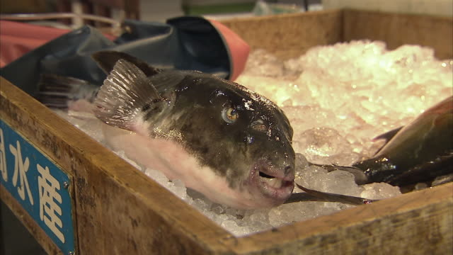 cu fugu fish in crate with ice, tokyo, japan - whole stock videos and b-roll footage