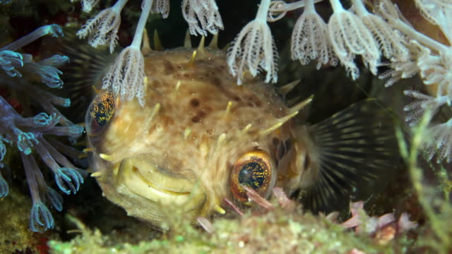 fugu under water in philippines - batangas province stock videos and b-roll footage