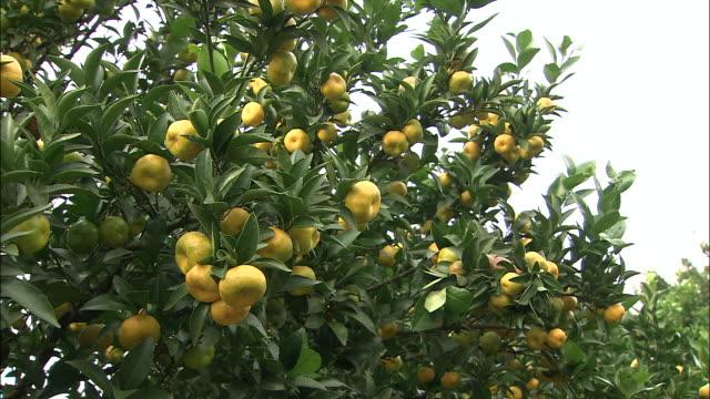 fukure oranges ripen in a mountain grove. - オレンジの木点の映像素材/bロール