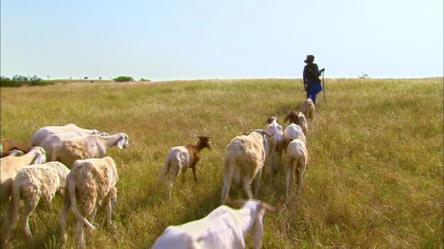 Fulani Nomad and flock of sheep