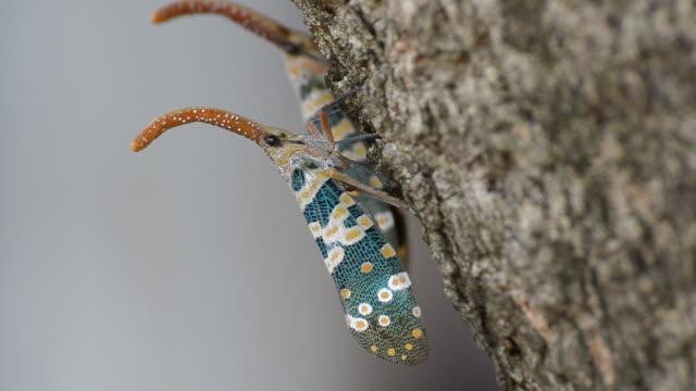 vídeos y material grabado en eventos de stock de fulgora candelaria linnaeus - escarabajo de cuerno largo