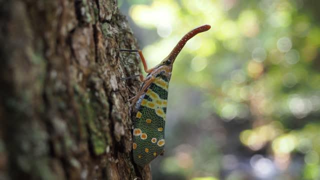 fulgorid bug on bark tree - lantern stock videos & royalty-free footage