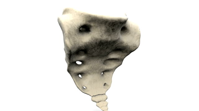 A full anti-clockwise rotation of the sacrum. Areas visible include the coccyx and sacral foramina.