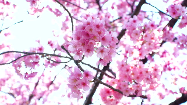 full blooming of cherry flowers in a sunny spring day - motivo floreale video stock e b–roll
