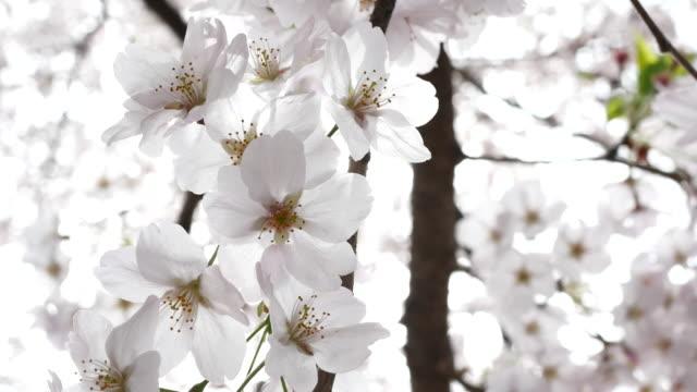 Volledige bloei van kersen bloemen in een zonnige lente