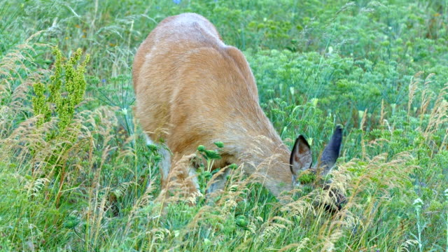 full body 2 north american blacktail mule deer doe grazing in wildflower meadow in the columbia river gorge near rowena crest - animal's crest stock videos and b-roll footage