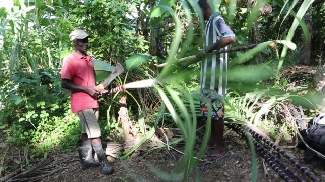a full body shot of two farmers who are cutting and preparing a palm tree branch with machetes on a plantation near pilate haiti - hispaniola stock videos and b-roll footage