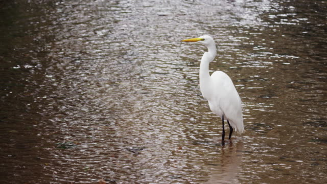 full body shot of white egret in rio. - egret stock videos and b-roll footage