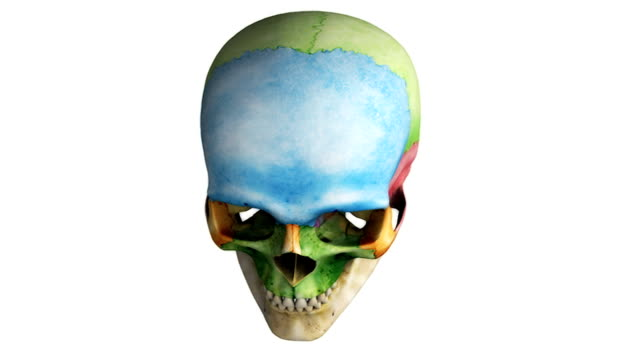 vídeos y material grabado en eventos de stock de a full clockwise rotation of the skull with the regions of the skull colored to emphasize their structure.  the camera also pans superiorly during the rotation. - ilustración biomédica