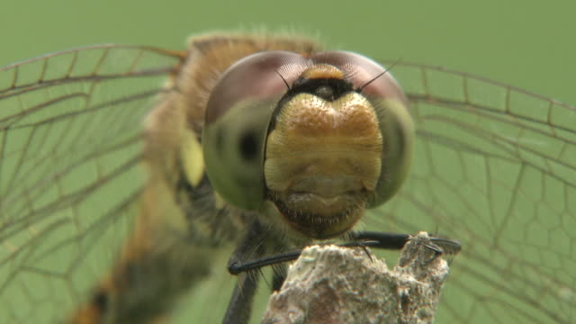Full Face Of Red Dragonfly
