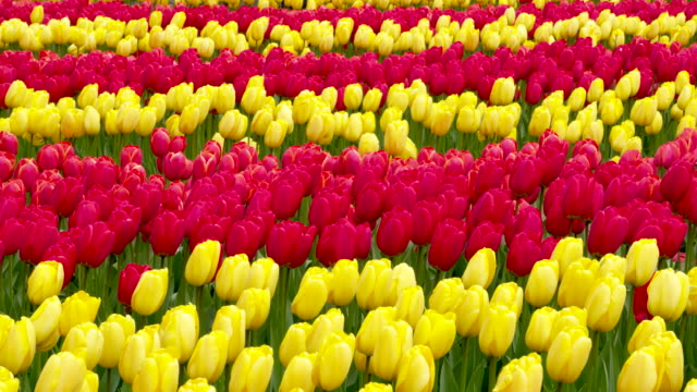 full frame shot of red and yellow tulips in rows blooming in formal garden. lisse, south holland, netherlands - south holland stock videos and b-roll footage