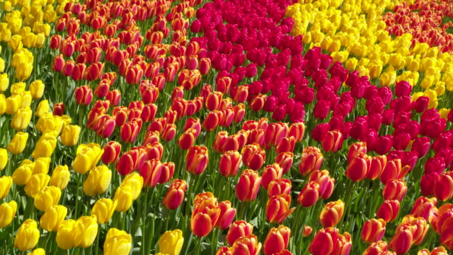 full frame shot of tulips in rows with different colors blooming in formal garden. lisse, south holland, netherlands - tulip stock videos and b-roll footage