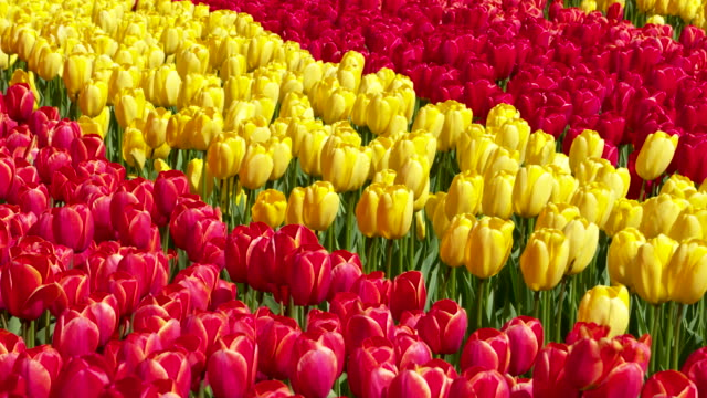 full frame shot of tulips in rows with different colors blooming in formal garden. lisse, south holland, netherlands - south holland stock videos and b-roll footage