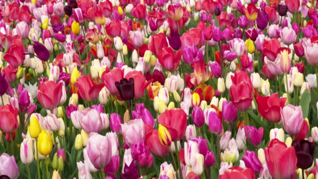 Full Frame shot of tulips with different colors blooming in field. Lisse, South Holland, Netherlands
