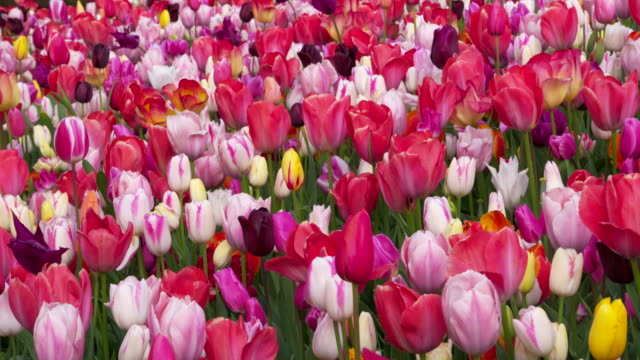 full frame shot of tulips with different colors blooming in field. lisse, south holland, netherlands - south holland stock videos and b-roll footage