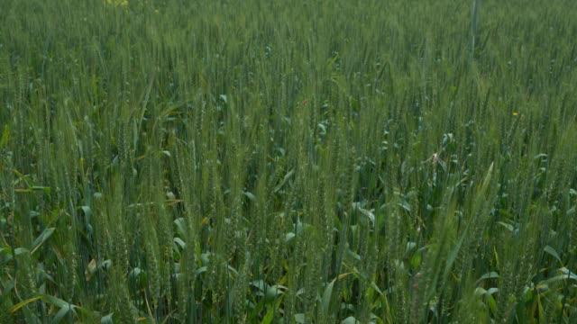 Full Frame UHD Video Of Wheat Field