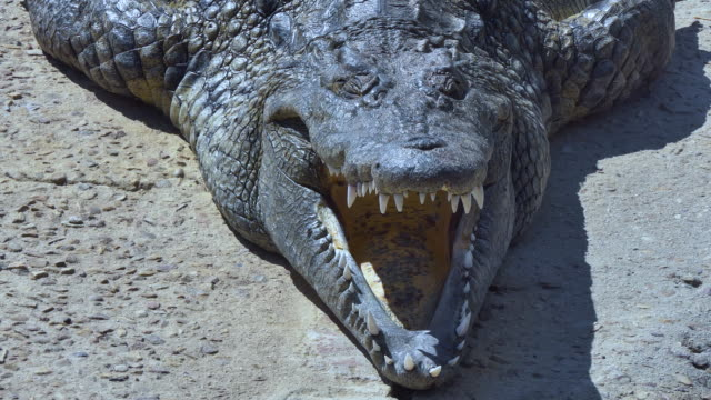 full frontal view of a large crocodile with mouth open wide - animal mouth stock videos & royalty-free footage