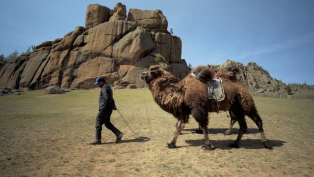 full length of man with bactrian camels walking on field against rocky mountains - ulaanbaatar, mongolia - ulan bator stock videos & royalty-free footage