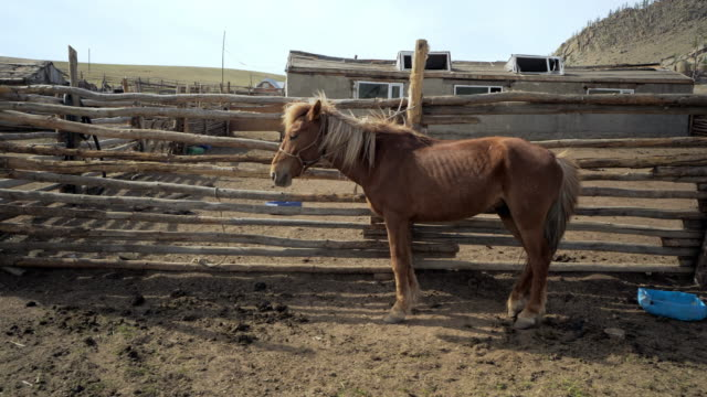 full length side view of brown horse with long blond mane standing by railing at ranch - ulaanbaatar, mongolia - ulan bator stock videos & royalty-free footage