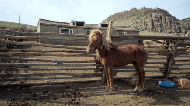 full length side view of horse with blond mane standing by railing at ranch - ulaanbaatar, mongolia - ulan bator stock videos & royalty-free footage