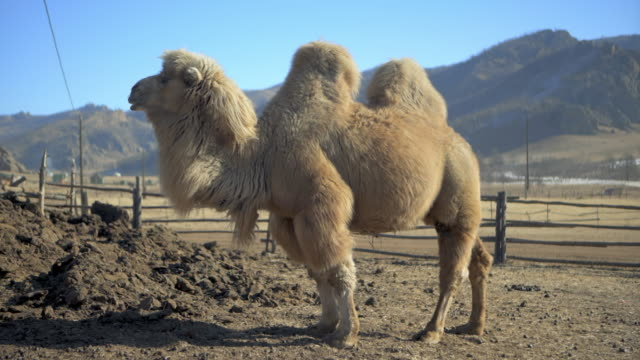 full length side view of two-humped bactrian camel looking away while standing on field - northern countryside, mongolia - two people stock videos & royalty-free footage