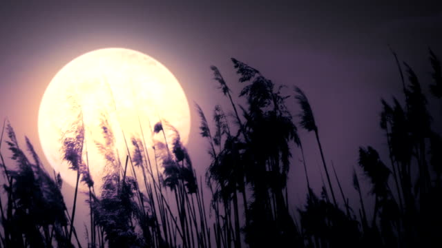Full moon and reeds