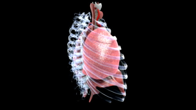 a full rotation in an anti-clockwise direction of the respiratory system visible through an x-ray style ribcage and thoracic spinal section. - 人の肺点の映像素材/bロール