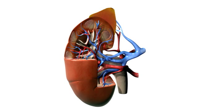 A full rotation of a sectioned view of the right kidney.