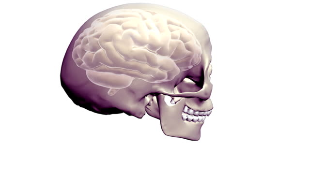 a full rotation of a transparent skull and brain within, in an anti-clockwise manner. - cerebrum video stock e b–roll