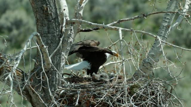full shot of a bald eagle with a fish landing in the nest - bird of prey stock videos & royalty-free footage