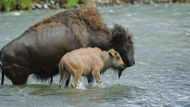 full shot of a bison and a bison calf getting out of the river - wyoming stock videos & royalty-free footage