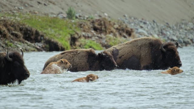 full shot of a bison herd crossing the river - wyoming stock videos & royalty-free footage