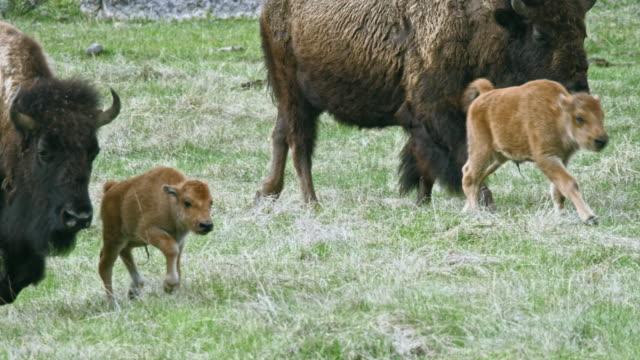 full shot of a bison herd walking alongside the river - アメリカバイソン点の映像素材/bロール