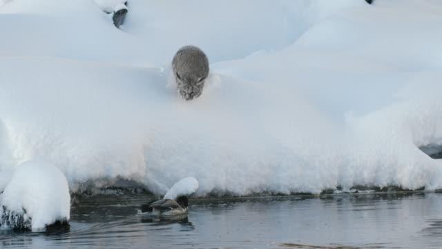 vidéos et rushes de full shot of a bobcat pouncing on a floating duck - lynx
