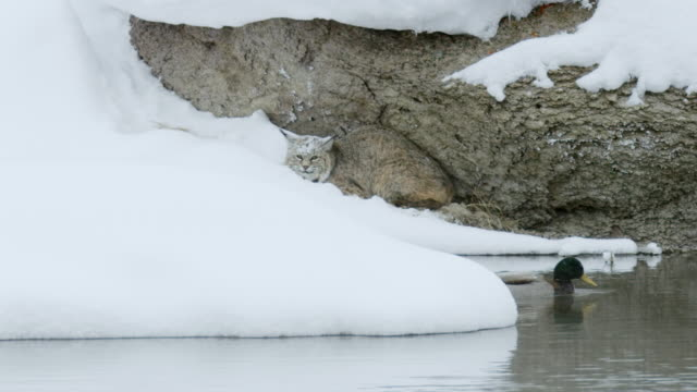 full shot of a bobcat watching a floating duck - duck stock videos & royalty-free footage