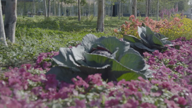 full shot of a cabbage in a garden - アブラナ科点の映像素材/bロール