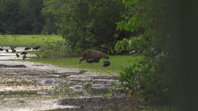 full shot of a capybara walking on the edge of the lake surrounded by green ibises and basking caimans - rodent stock videos & royalty-free footage