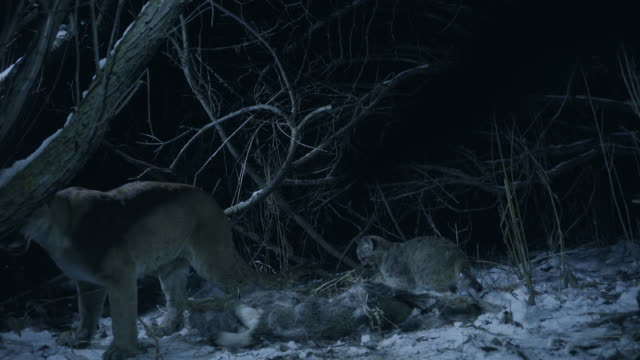 full shot of a cougar and a cub feeding on the carcass of a white-tailed deer at night - white tailed deer stock videos & royalty-free footage