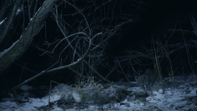 full shot of a cougar cub finding a carcass of a white-tailed deer at night - white tailed deer stock videos & royalty-free footage