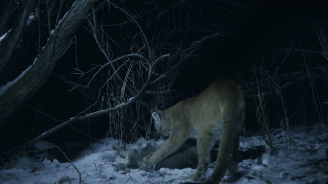 full shot of a cougar feeding on the carcass of a white-tailed deer at night - white tailed deer stock videos & royalty-free footage