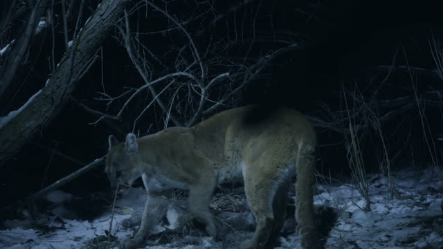 full shot of a cougar hiding the carcass of a white-tailed deer and calling the cub at night - white tailed deer stock videos & royalty-free footage