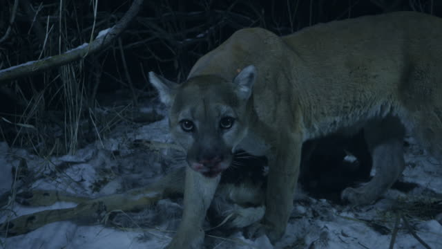 full shot of a cougar hiding the carcass of a white-tailed deer and looking around at night - mountain lion stock videos & royalty-free footage